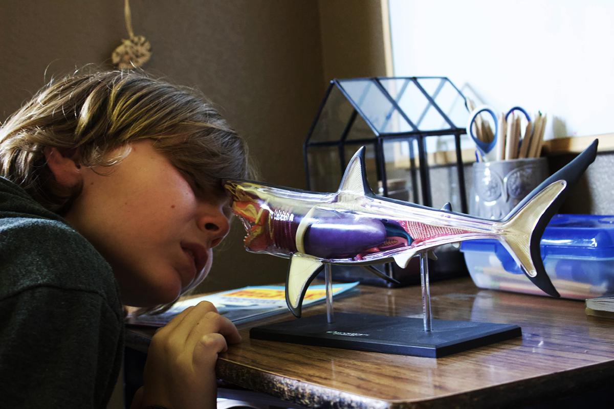 gather 'round homeschool oceans unit shark model